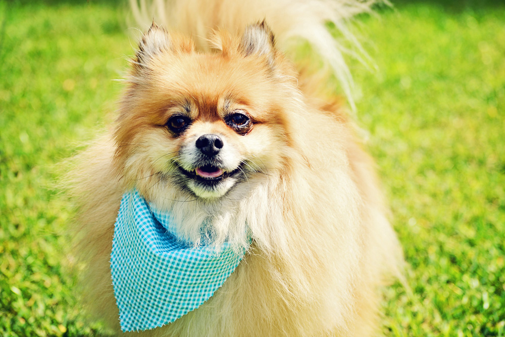 Charleston Dog Grooming - Pomeranian