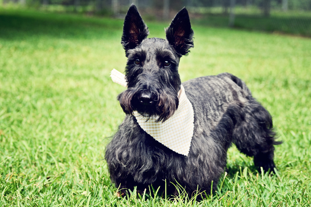 Charleston Dog Grooming - Scottish Terrier