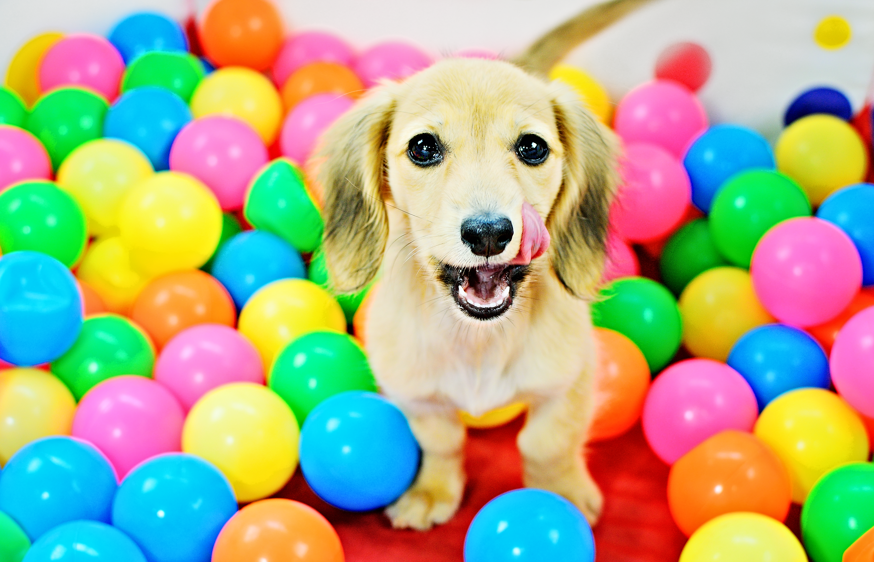 Dachshund puppy in the enrichment ball pit during her puppy training program.