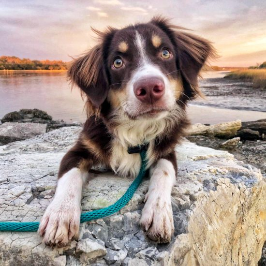Australian Shepherd on an excursion during his Board and Train program.